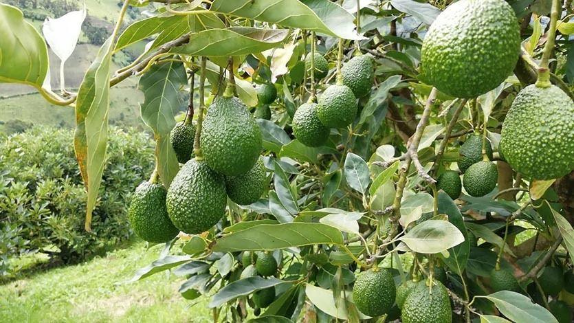 3.300 árboles de aguacate Hass serán sembrados por 50 productores Santa Isabelitas.