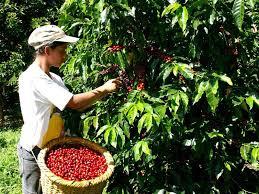 Preocupación por recolección de la cosecha cafetera