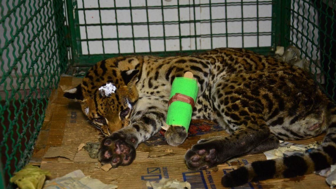 Ocelote rescatada en Chaparral presenta fractura y laceraciones en la piel