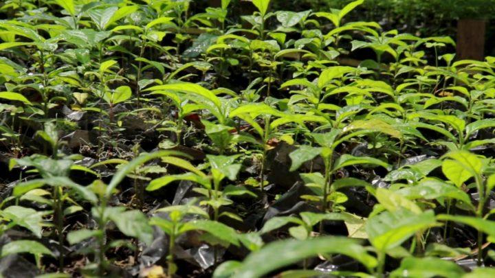 Más de 40 mil plantas serán sembradas en todo el territorio tolimense