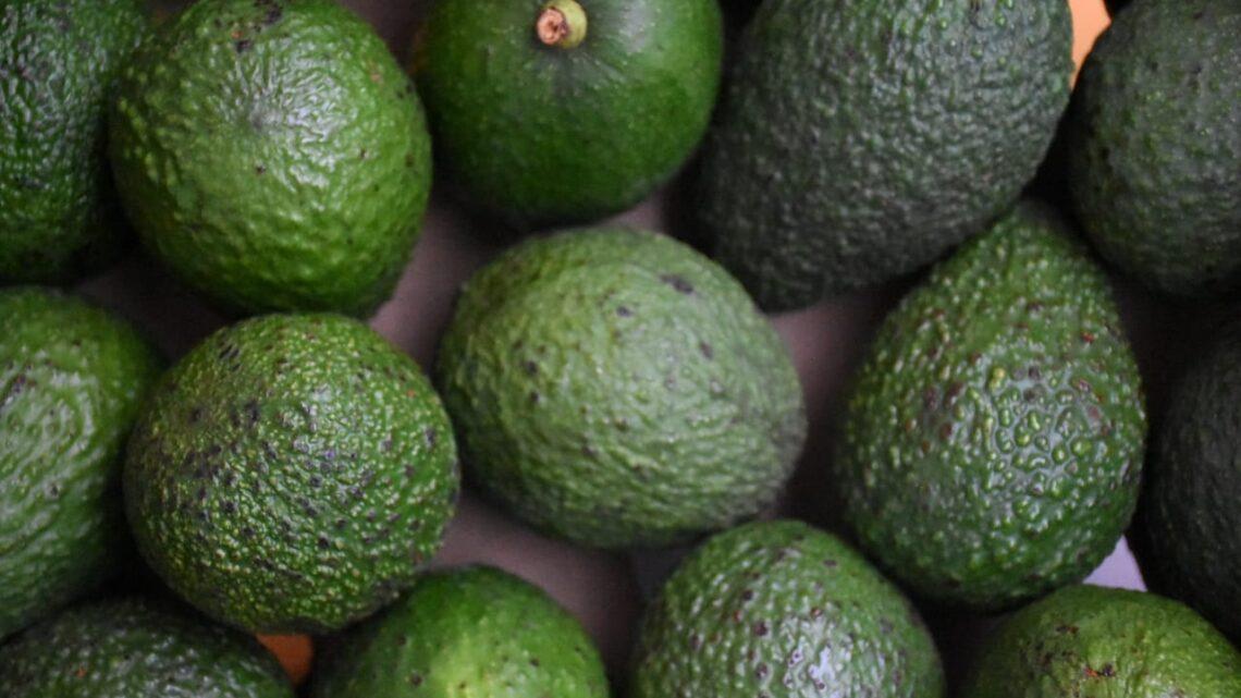 2 millones de kilos de aguacate Hass tolimense llegaron a mercados mundiales.