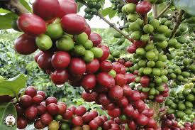 Producción de café de Colombia crece 3% en enero