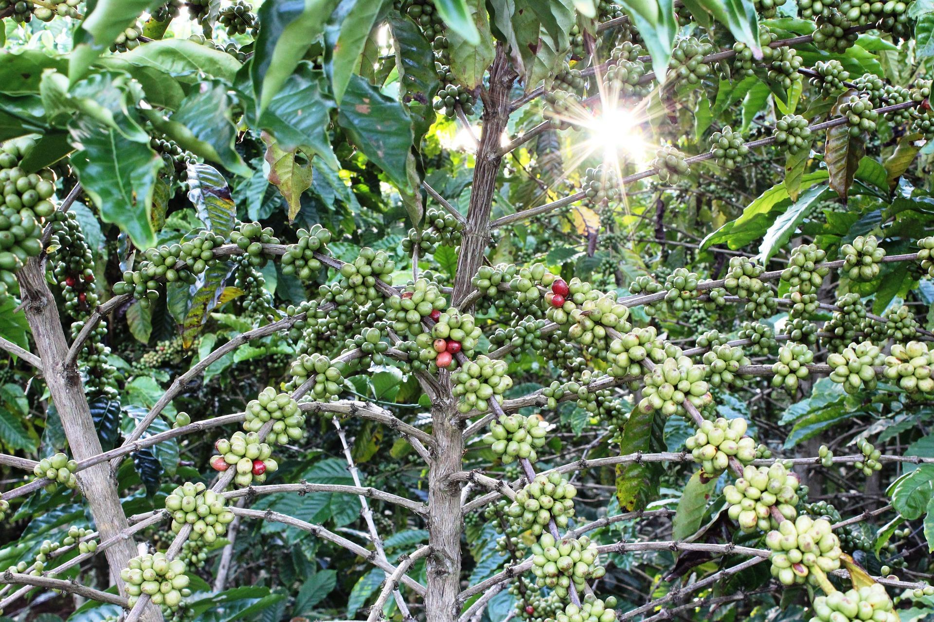 Turistas: En el sur del Tolima Invierten $2.300 millones en l café especial
