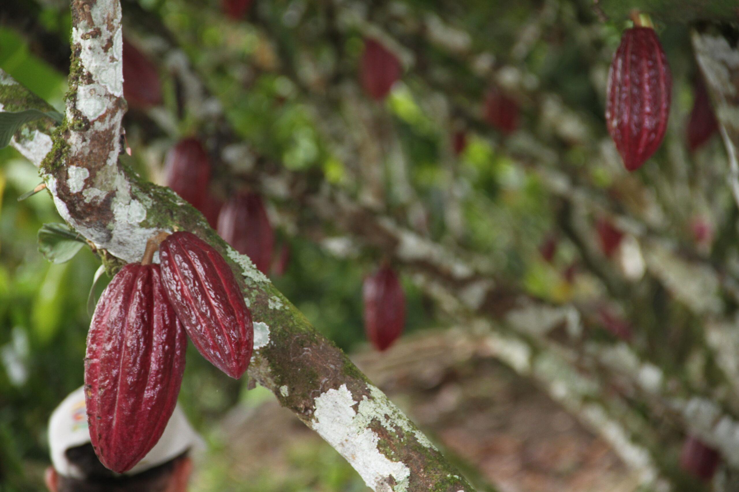 Turistas: Cacao ¿Qué está pasando con los precios?