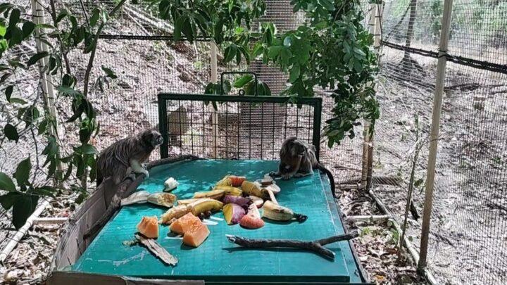 Turistas: Tres titis grises vuelven al bosque seco tropical