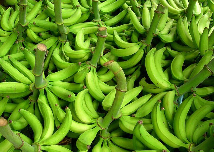 Turistas: El Tolima, nueva apuesta de plátano hartón en Tolima